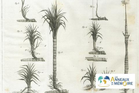 UNE HISTOIRE DES ESCLAVAGES – Une plantation de cannes à sucre